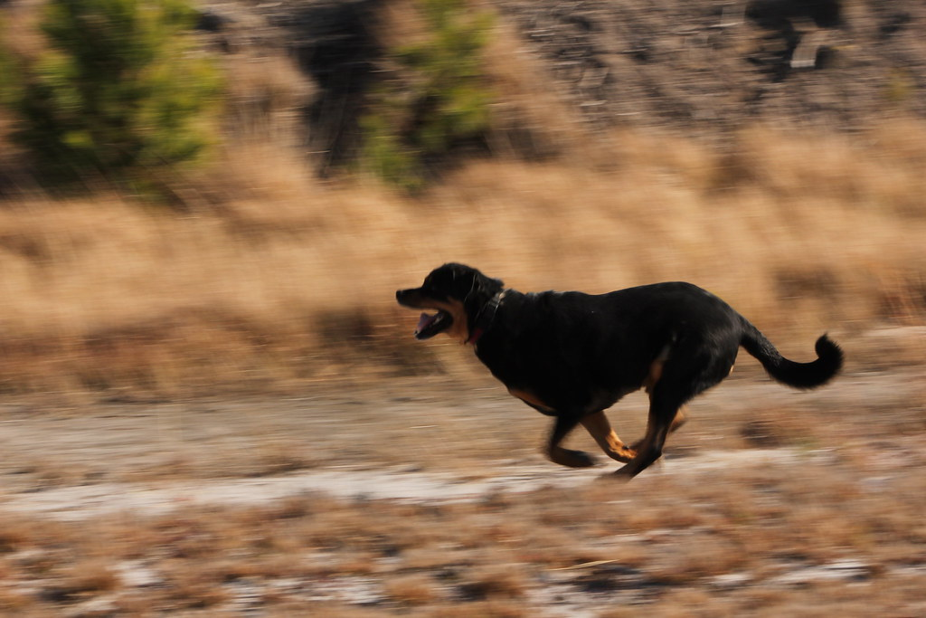 Rottweiler Running Testing Settings To Get A Motion Blur W Flickr
