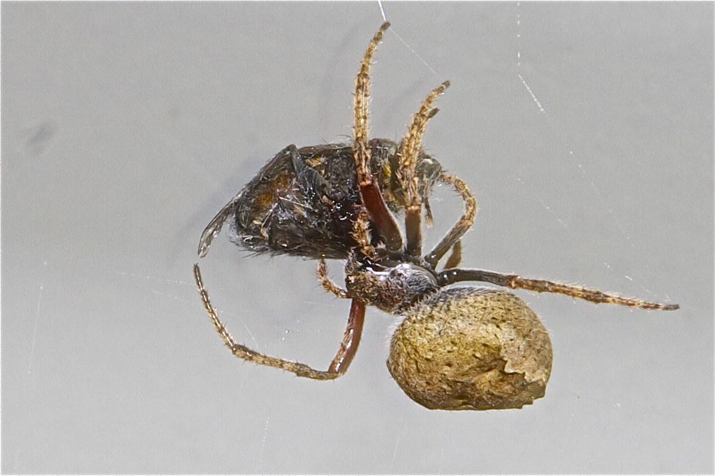 Garden Orb Web Spider Eriophora Pustulosa Wrapping Its P Flickr
