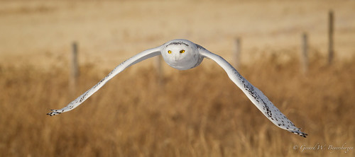 Snowy Owl | by Turk Images