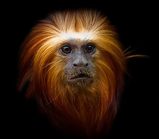 Primate Portrait | by Steve Wilson - over 9 million views Thanks !!