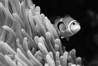 Nemo limited edition b&w | by Pixeled79