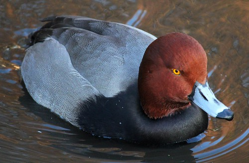 Male Redhead Duck (Aythya americana ) | by In Memory of ColGould