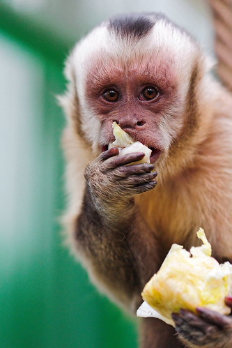 Eating capuchin monkey | by Tambako the Jaguar