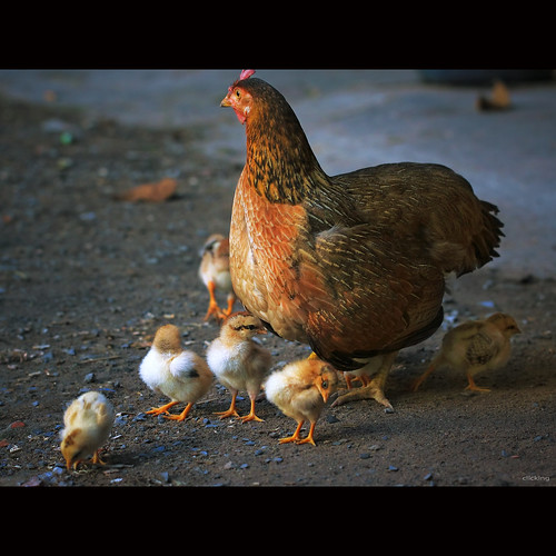 Mother hen and chicks | by -clicking-
