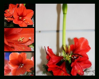 Giant Red Amaryllis | by maorlando - God keeps me as I lean on Him!!