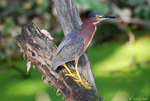 LITTLE GREEN HERON | by imeshome