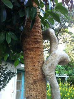 Strangler fig after boot jacks rot away | by cabbagepalmguy