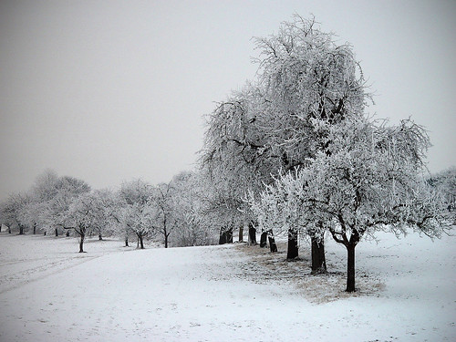 trees in winter | by thostme