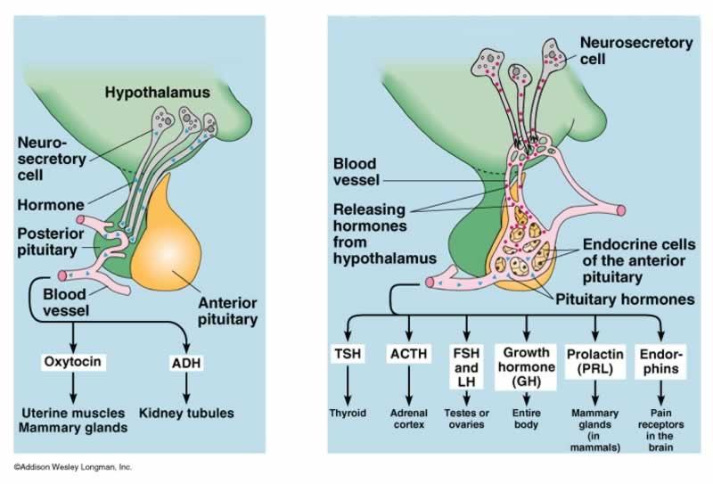 Hypothalamic Pituitary Hormone Overview Emmanuelsegmen Flickr