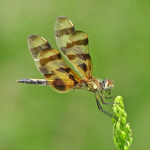 Happy Dragonfly Thursday!! | by Vicki's Nature