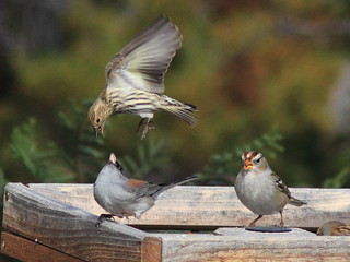 Siskin Junco and White-crown squabble 20111114 | by Kenneth Cole Schneider