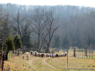 Joe, Daisy, and Bert herding the sheep into the front field | by Farmgirl Susan