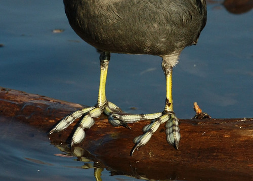 Coot Feet | by TexasEagle