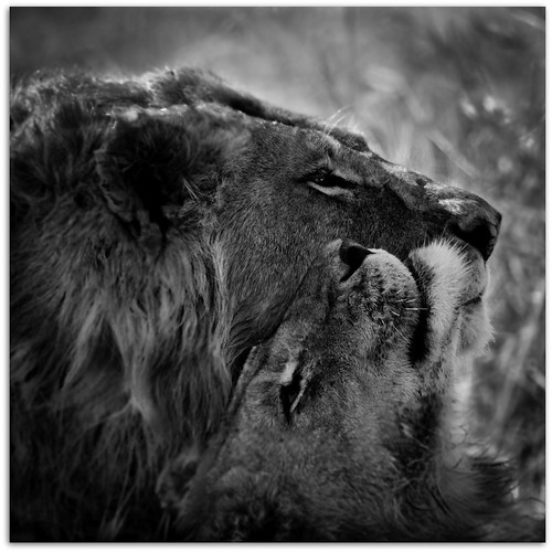 Lions Love | by Ania Tuzel Photography