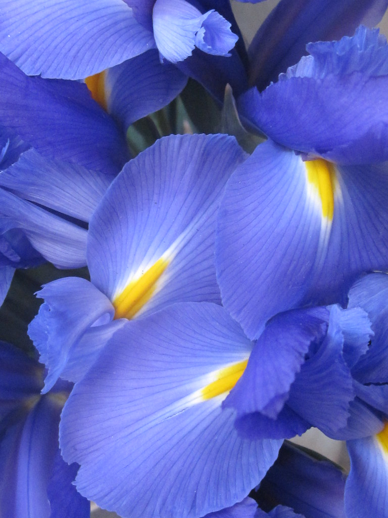 Blue Iris Flowers Shaireproductions Flickr