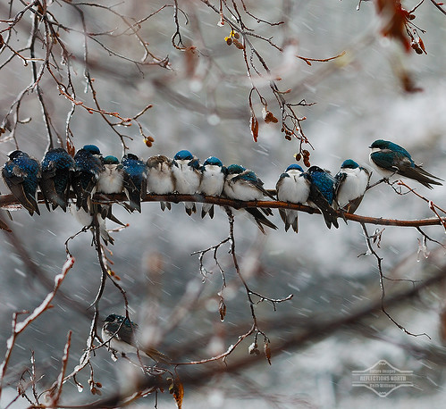 Swallows in a Snowstorm | by kdee64