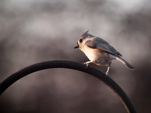 Tufted Titmouse | by gwburke2001