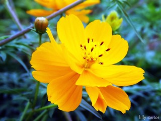 Yellow Flower... | by Lilly Santos