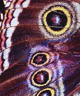 Blue morpho wing detail | by Thank you for 1.5 Million views
