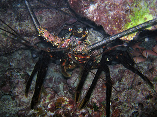 Spiny lobster in Midway Atoll's lagoon. | by USFWS Pacific