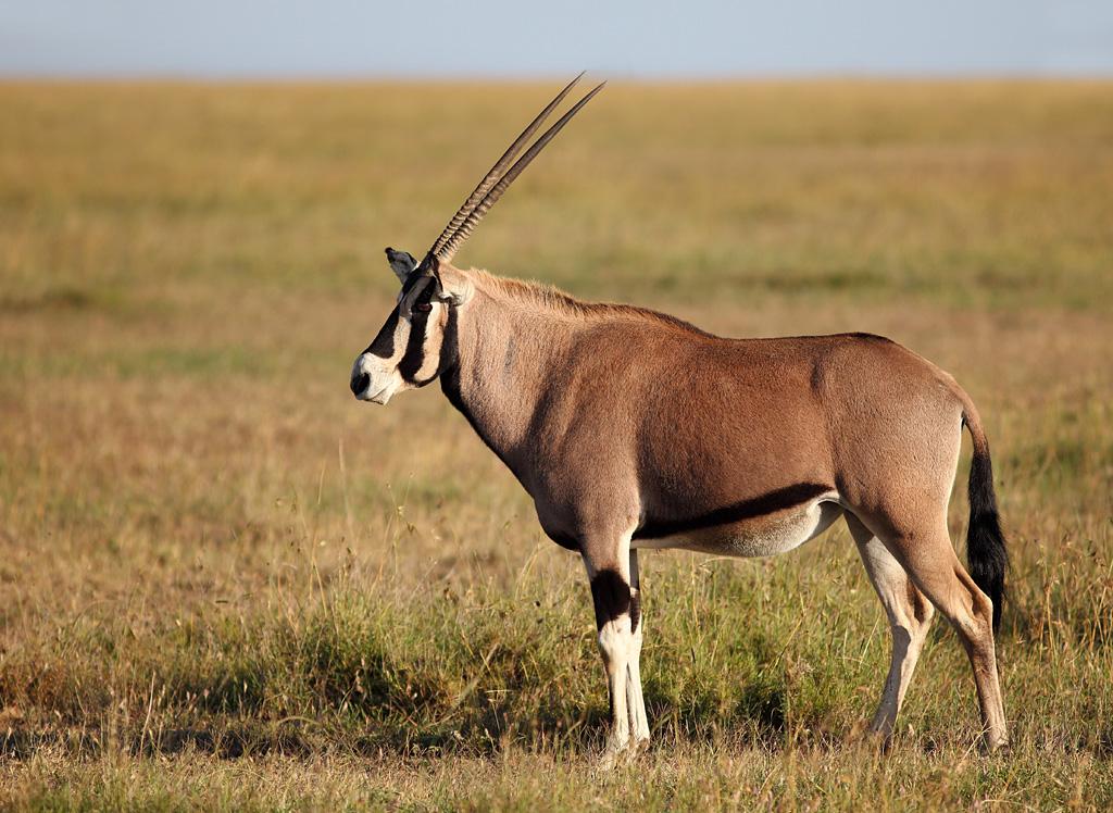 Oryx Beisa East African Oryx Ostafrikanischer Oryx Beis Flickr