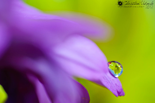 Dew Upon the Flower (Macro) | by Bright Ideas with Chan Udarbe
