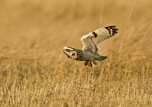 Short Eared Owl with diner | by katholdbird