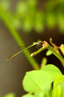 Green dragonfly | by bigyabbie