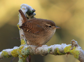 Wren | by David Sanderson 33