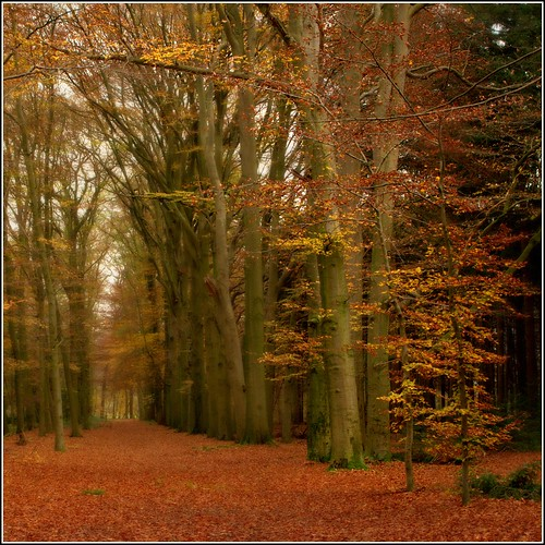 autumn gold | by Zino2009 (bob van den berg)