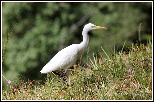 "1863 cattle egret ""Explored"" 28th Dec # 396 