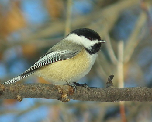 Chilly Chickadee | by vtpeacenik