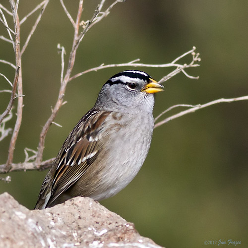 White-crowned Sparrow on Morro Rock | by Jim Frazee