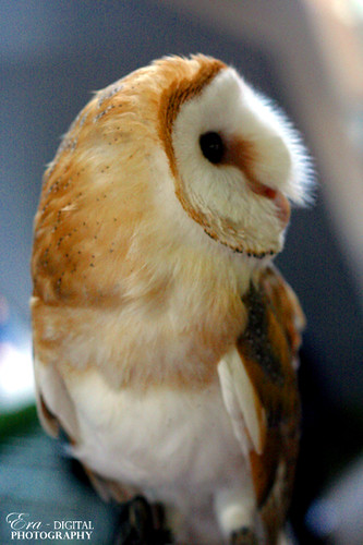 barn owl (Explored) | by hufu25 (OFF)