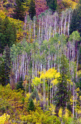 Aspens are Beautiful  F4KV2191 | by Ken Hornbrook