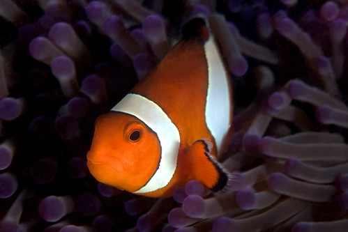 Western Clown Anemonefish - Pulau Manantani, Malaysia (Borneo) | by James R.D. Scott
