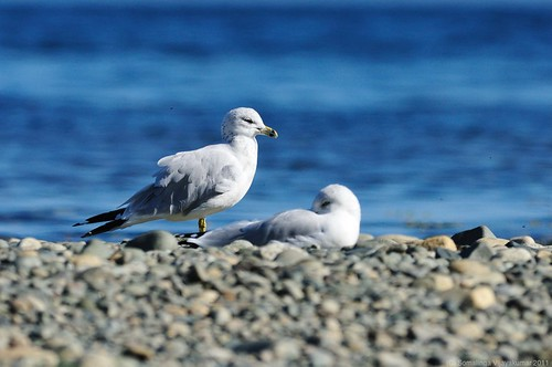 Ring-billed gull @ Miracle beach #1 | by vijay_SRV