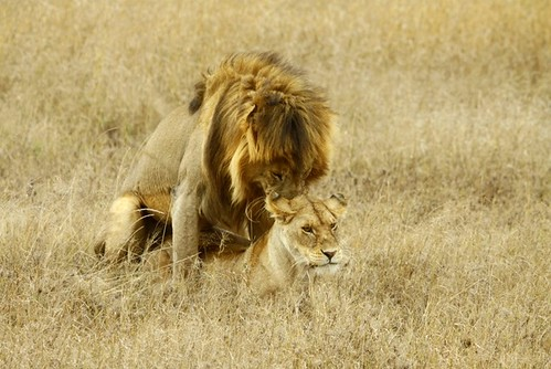 Mating lions | by CherylV