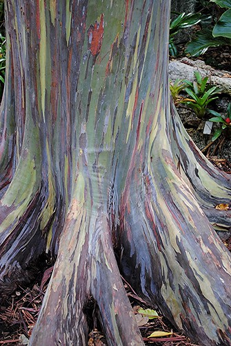 Impressionistic... the colorful and exotic Rainbow Eucalyptus | by jungle mama