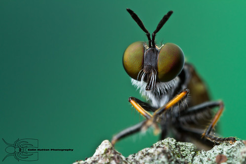 Robber fly | by Colin Hutton Photography
