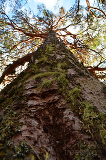 201111-scots-pine-height | by treeblog