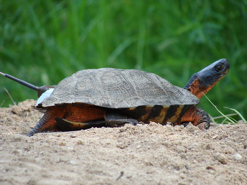 Female Wood Turtle | by U. S. Fish and Wildlife Service - Northeast Region
