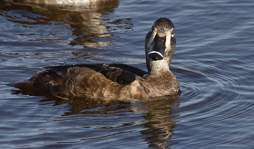 Ring-necked Duck | by Laura Erickson