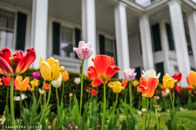 Tulips at the Equinox