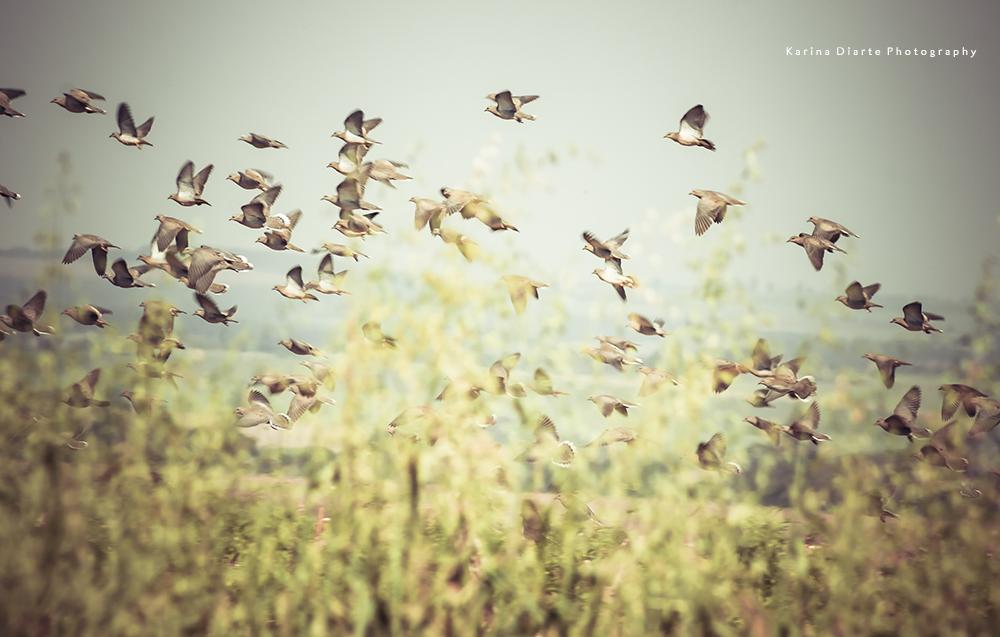 Torcaza - Eared Dove