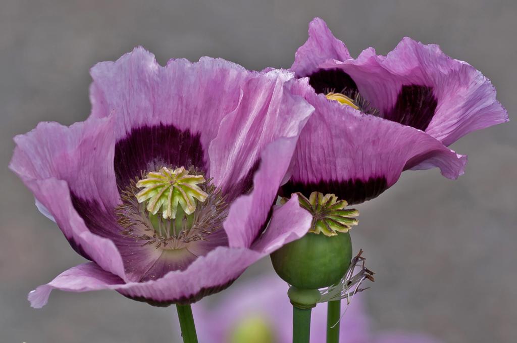 purple poppies johnl46 flickr