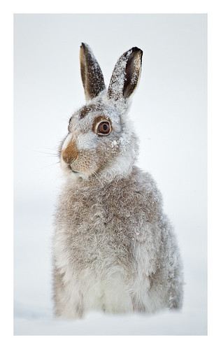 The snow hare | by Jules Cox Photography