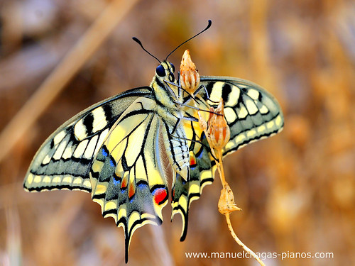 Papilio Machaon | by Manuel Chagas