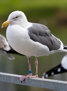 Western Gull | by The original David L