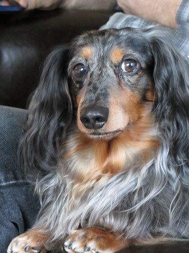 Silver Dapple Dachshund Chester My Proud Hound Mini